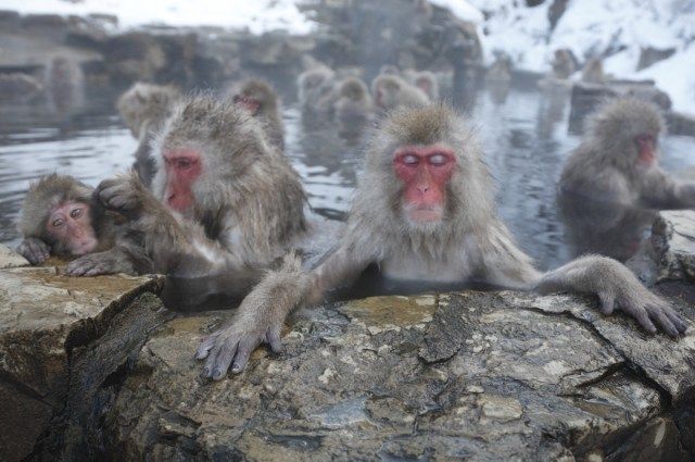 Monkeys soaking in hot springs in Japan in the winter