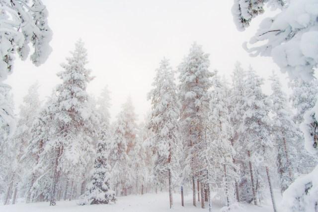 Winterforest in Rovaniemi, Finland