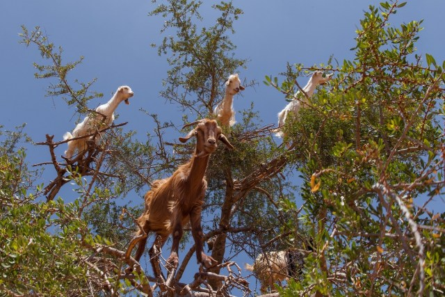 Goats perched on the branches of an argan tree in Morocco, North Africa