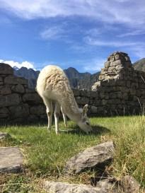 Kawaii Llama