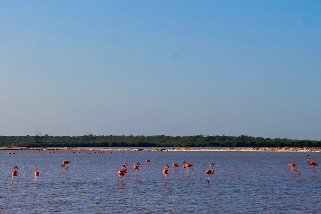 Flamingos wading in the water