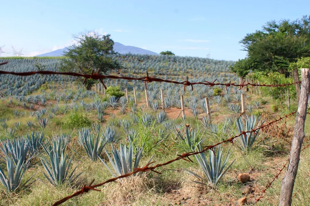 Agave fields in Tequila
