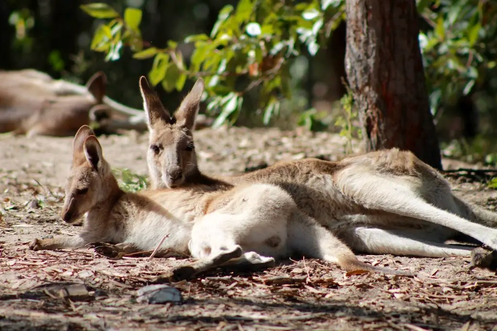Seeing these rescued kangaroos has to be one of the best things to do in 1770