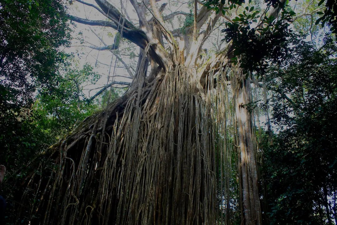 The Curtain Fig is an impressive strangler fig and one of the best national parks in Queensland and the Atherton Tablelands.