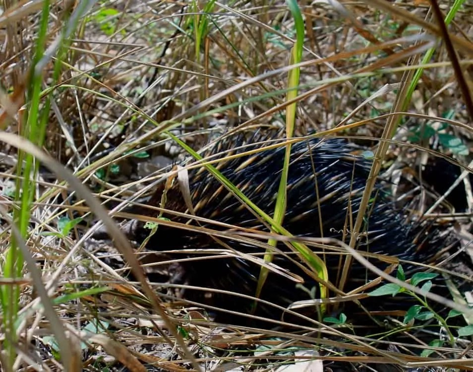 Share the trail to Big Bend Carnarvon Gorge with echidnas among others...