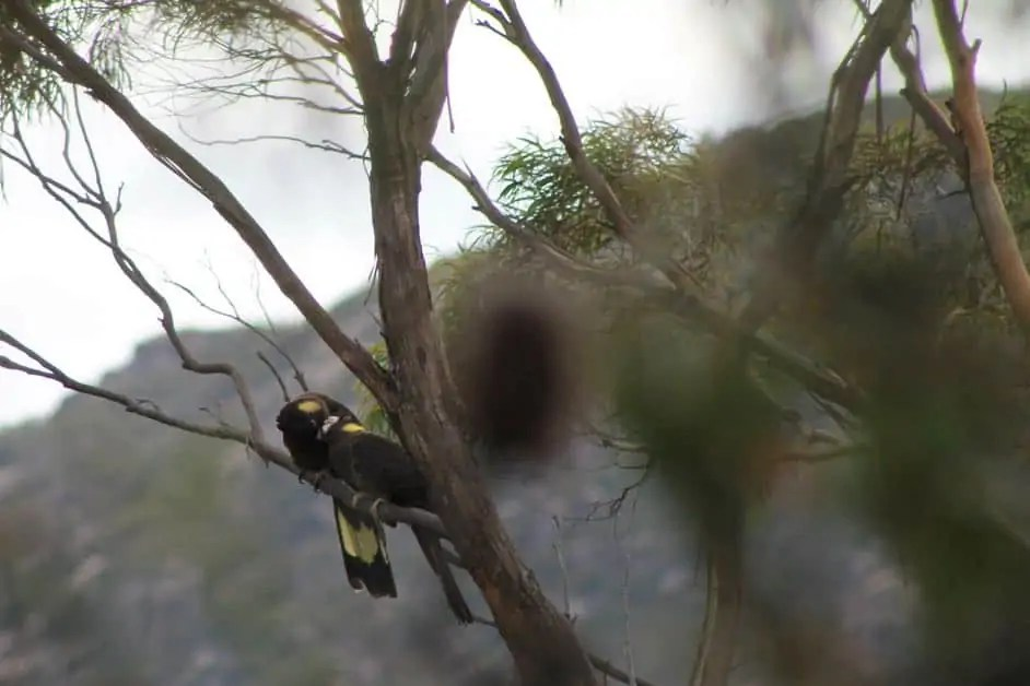 Two yellow-tailed black cockatoos spotted in the Freycinet National Park
