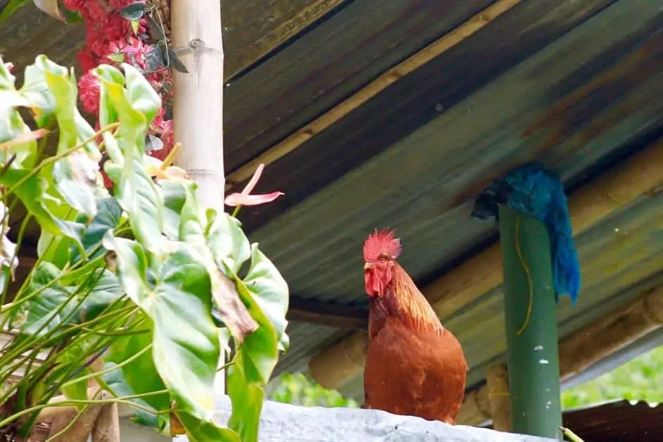 Rooster in the Colombia coffee region