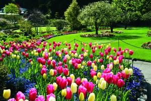 tulips-butchart-gds