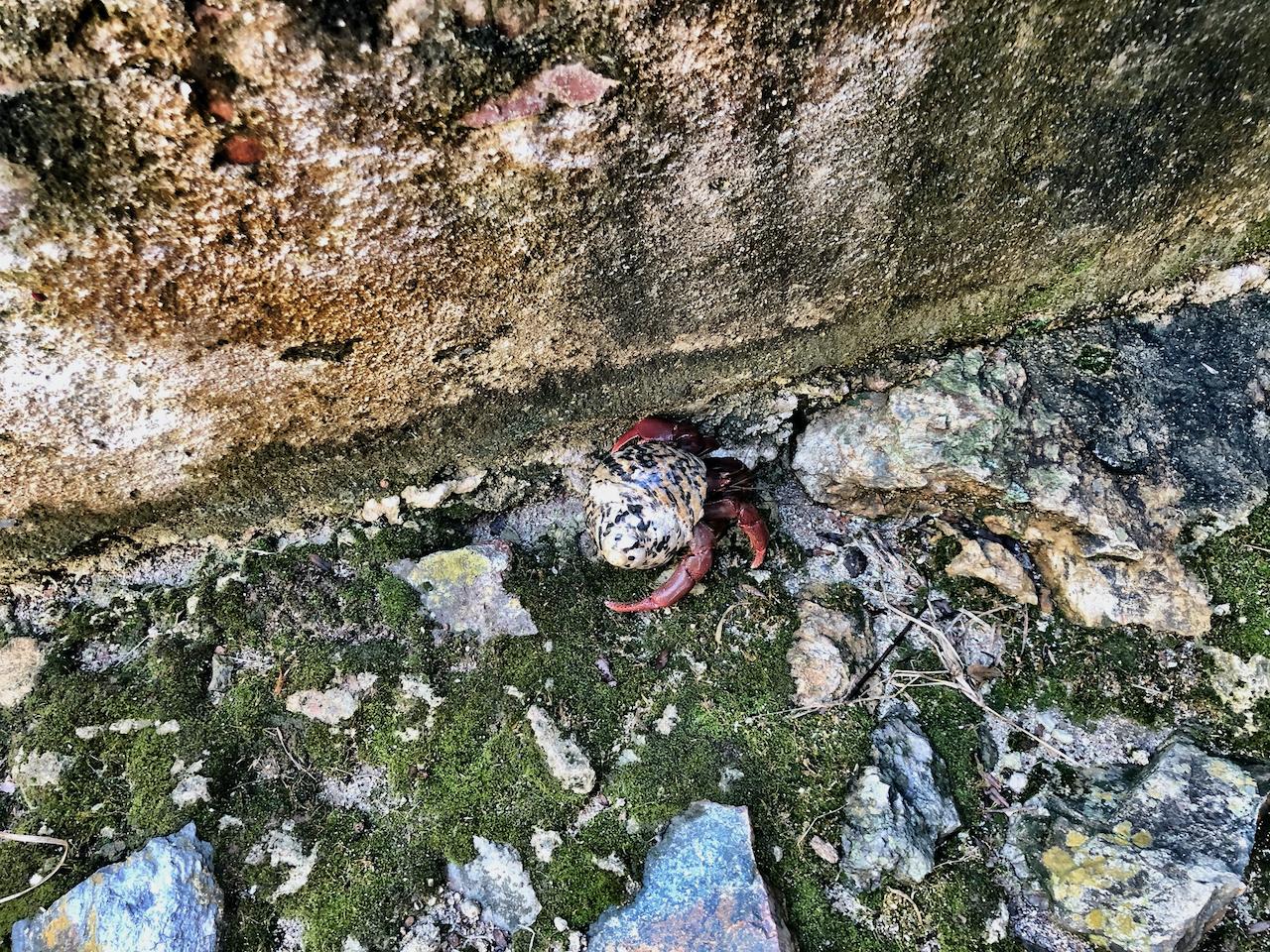 Hermit crab on St John in US Virgin Islands National park