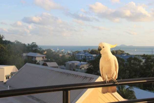 whitsundays-airlie-cockatoo
