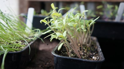 Seedlings about to be pricked oout