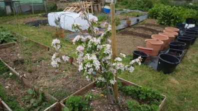 The blossom on this apple tree is amazing. hopefully it'll produce lots of apples.