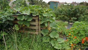 Pumpkins in compost heap
