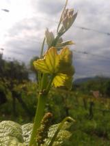 Young grape vine shoots with flower cluster.