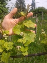 Pinot Gris growing well.