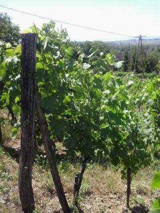 Vines after summer trimming.