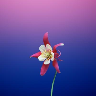 iOS_11_GM_Wallpaper_Flower_AQUILEGIA