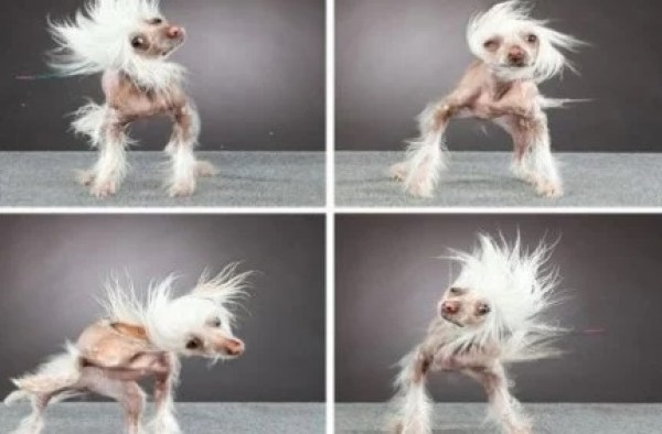 Funny Little dog in a Wind Tunnel