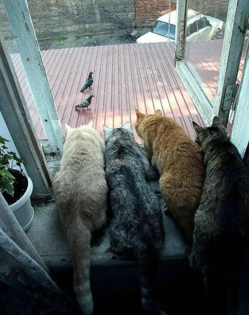 Cats waiting for the pigeons to come closer