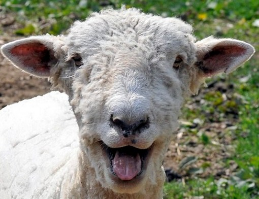 Lamb Laughing