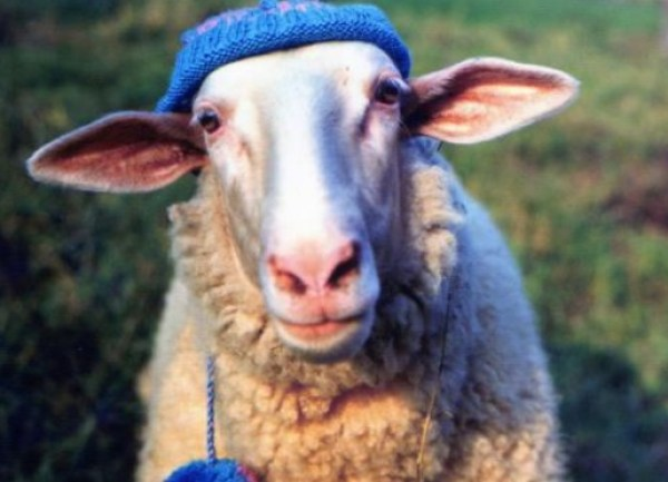 Sheep in a woolly hat