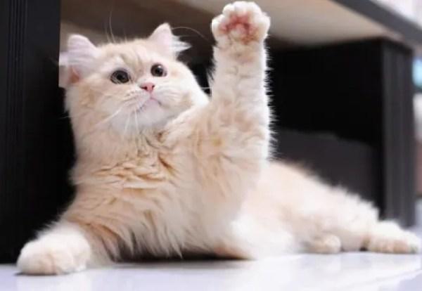 Cat Waving Hello