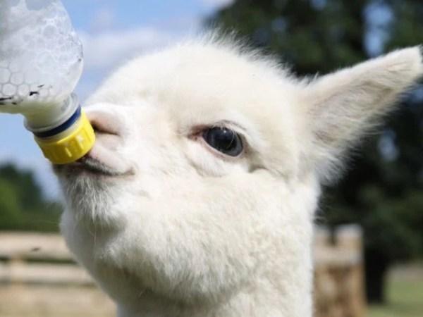 Alpaca Being Bottle Fed