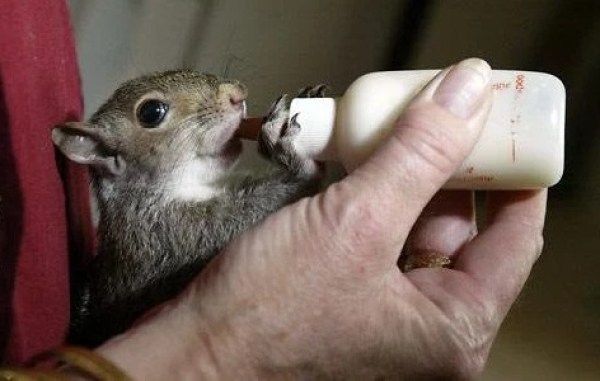 Squirrel Being Bottle Fed