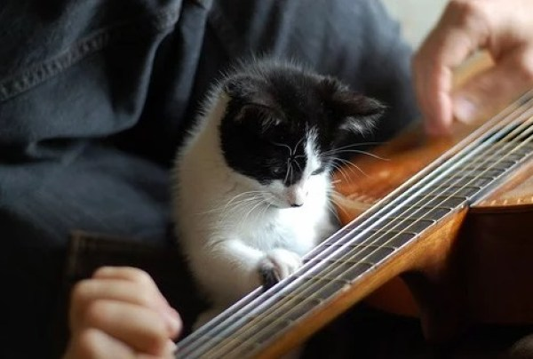 Cat playing acoustic guitar