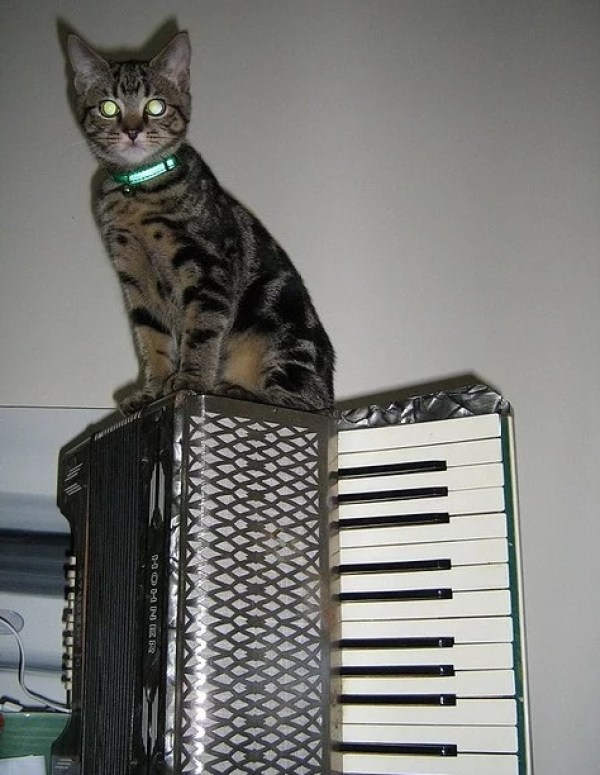 cat playing an accordion