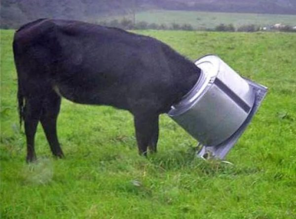 Cow with head stuck in washing machine