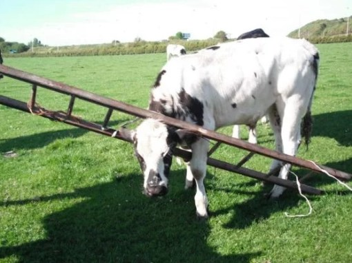 Cow with head stuck in a wooden ladder