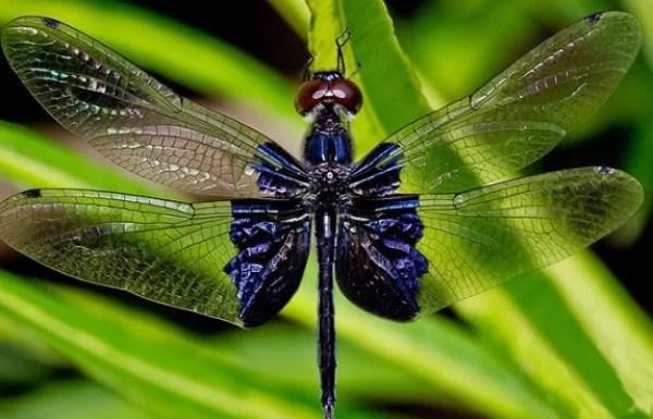 Sapphire Flutterer, Lesser Blue-wing - Rhyothemis triangularis