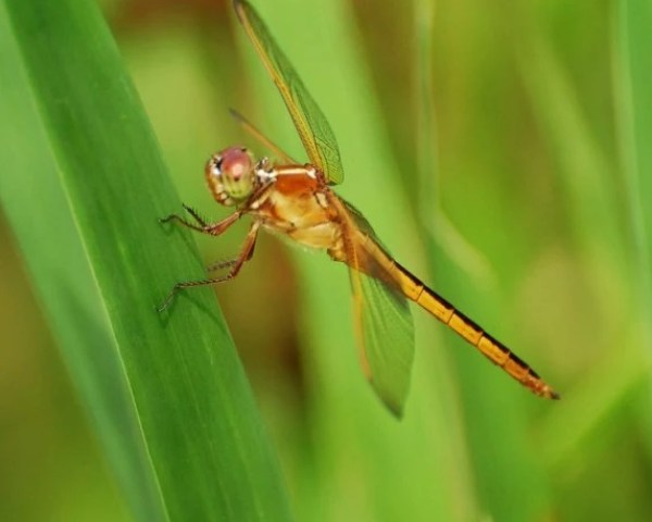 Golden-winged Skimmer - Libellula needhami