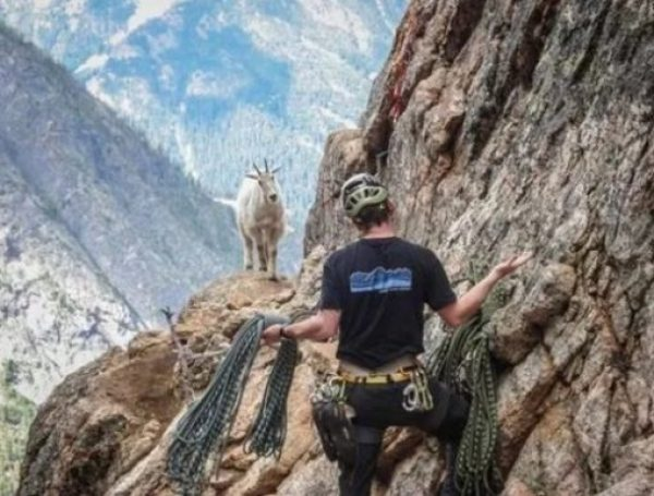 Goat telling mountain climber how to do it