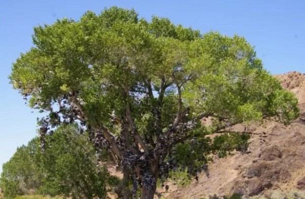Shoe Tossing: Desert Tree With Thousands of Shoes in it