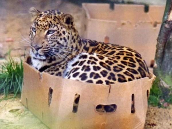 Leopard in Box