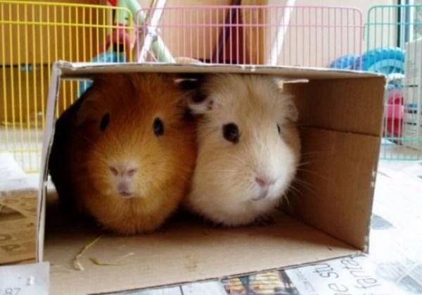 Guinea pigs in Box