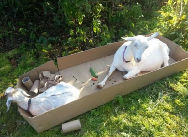 Goats in Box