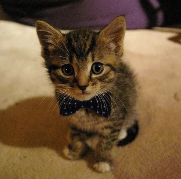 Kitten Wearing a Black and White Spotted Bow Tie