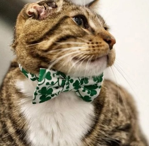 Cat Wearing a Green Shamrock Bow Tie
