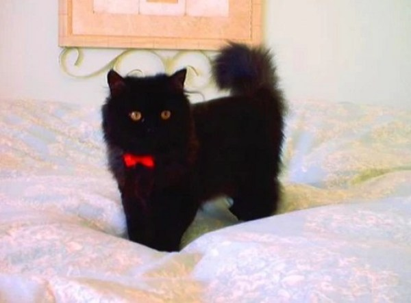 Cat Wearing a Red Bow Tie