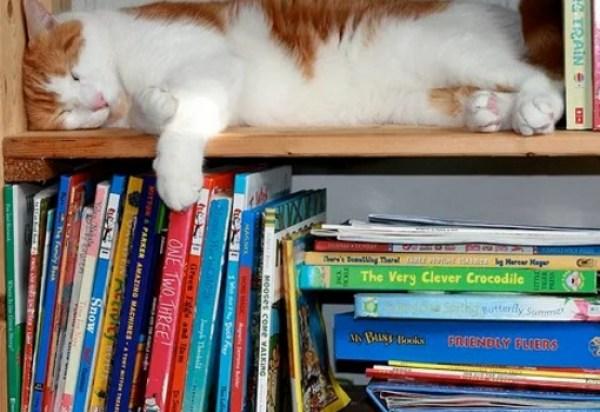 Cat in Book Shelf