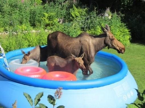 Mooses in paddling pool