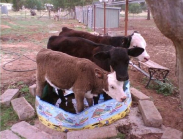 Cows in paddling pool