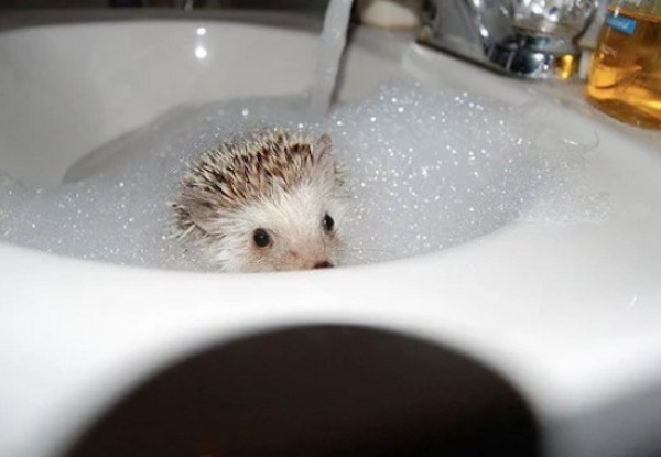 Hedgehog In a sink