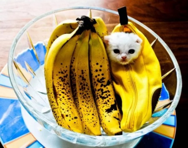 Cat Disguised as a banana