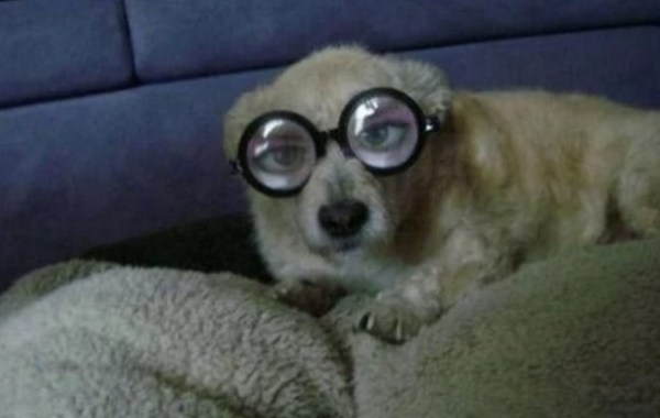 Dog Wearing Silly Glasses