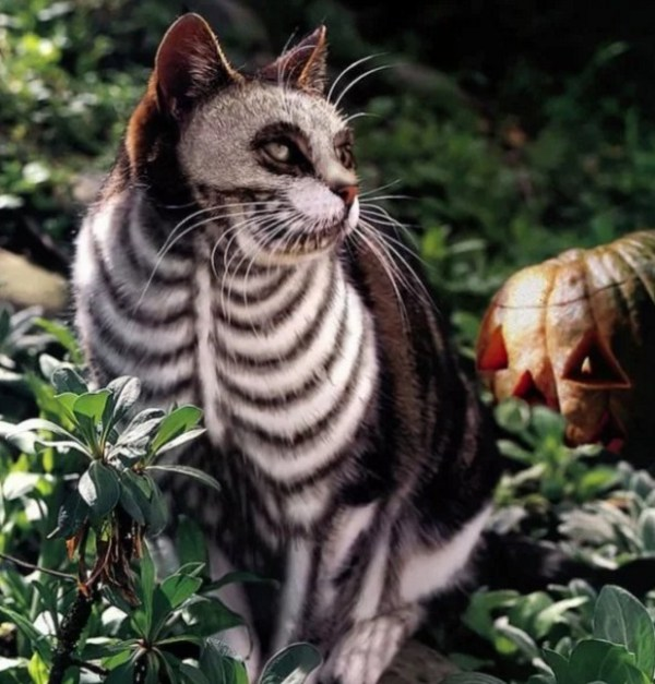 Cat painted to look like a Skeleton