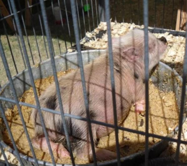 Pig Asleep in Food Bowl